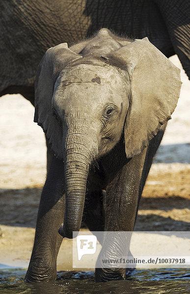Afrikanischer Elefant (Loxodonta africana)  Kalb trinkt am Chobe River  Chobe-Nationalpark  Botswana  Afrika