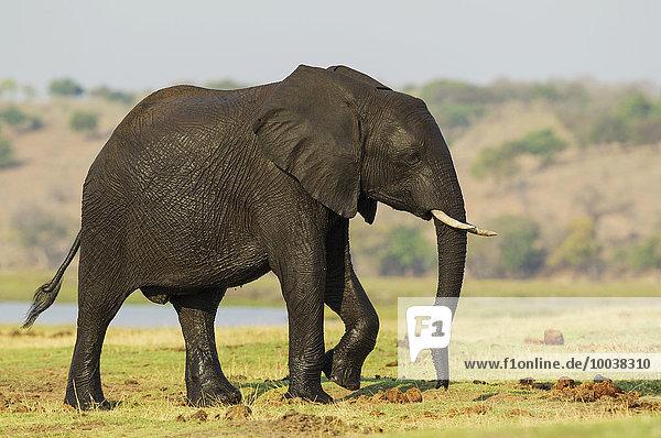 Afrikanischer Elefant (Loxodonta africana)  Weibchen mit nasser Haut nach Überquerung des Chobe River  Chobe-Nationalpark  Botswana  Afrika