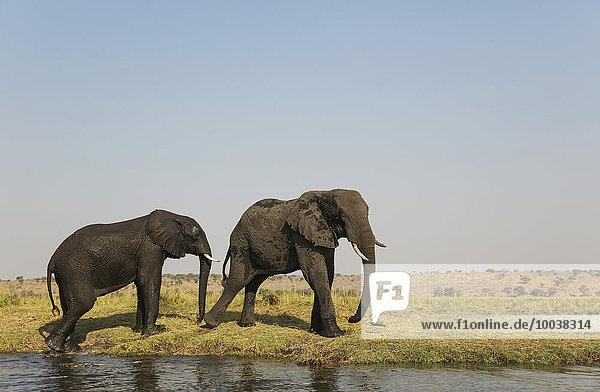 Afrikanische Elefanten (Loxodonta africana)  zwei Kühe am Chobe River Ufer  Chobe-Nationalpark  Botswana  Afrika