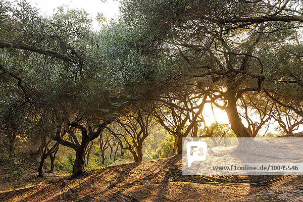 Greece  Corfu  olive orchard at sunset