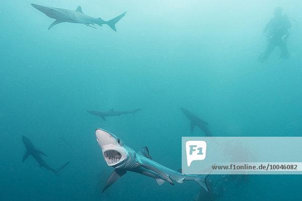 Südafrika  Blauhaie  Prionace glauca und Taucher