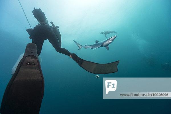 Südafrika  Taucher und Blauhai