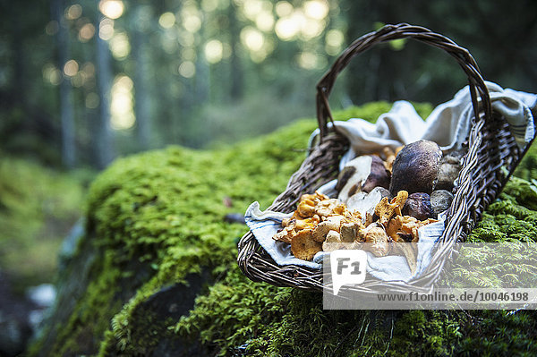 Korb mit gesammelten Pfifferlingen und Steinpilzen im Wald