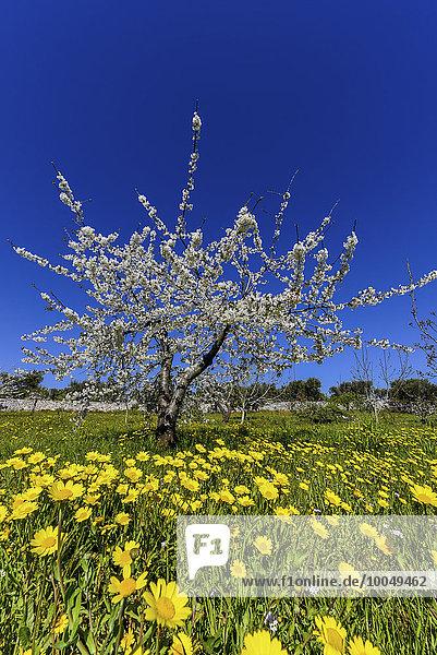 Italien  Apulien  Blumenwiese und blühende Bäume