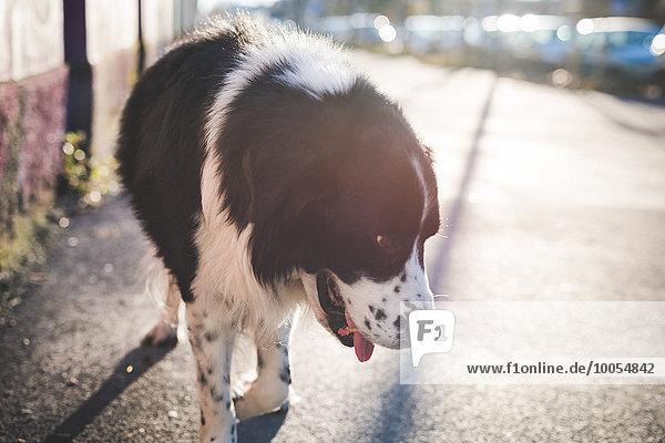 Alleinerziehender Hund auf dem sonnigen Bürgersteig mit dem Kopf nach unten Alleinerziehender Hund auf dem sonnigen Bürgersteig mit dem Kopf nach unten