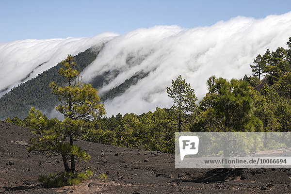 Canary Pines (Pinus canariensis) in the Parque Natural de Cumbre Vieja  a waterfall of clouds above the Cumbre Nueva behind  La Palma  Canary Islands  Spain  Europe