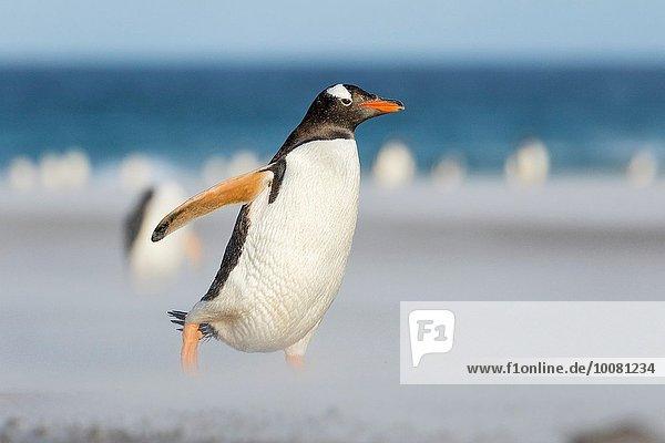 hoch oben überqueren gehen Strand Sand Insel Tierkolonie Kolonie Eselspinguin Pygoscelis papua Falklandinseln Langschwanzpinguin Januar Pinguin Südamerika breit