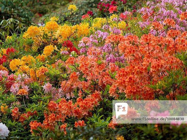 Blume Großbritannien bunt Garten Derbyshire Rhododendron