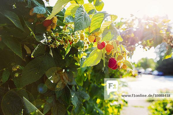 Wachstum Close-up Himbeere Pflanzenblatt Pflanzenblätter Blatt Reben Wachstum,Close-up,Himbeere,Pflanzenblatt,Pflanzenblätter,Blatt,Reben