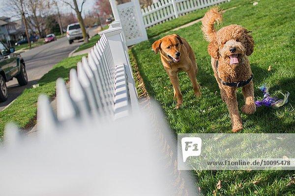Zwei Hunde spielen im Garten