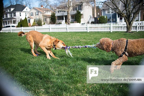 Zwei Hunde spielen Tauziehen mit Seil im Garten