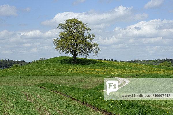 Freistehender Baum mit Feldweg  bei Münsing  Oberbayern  Bayern  Deutschland  Europa