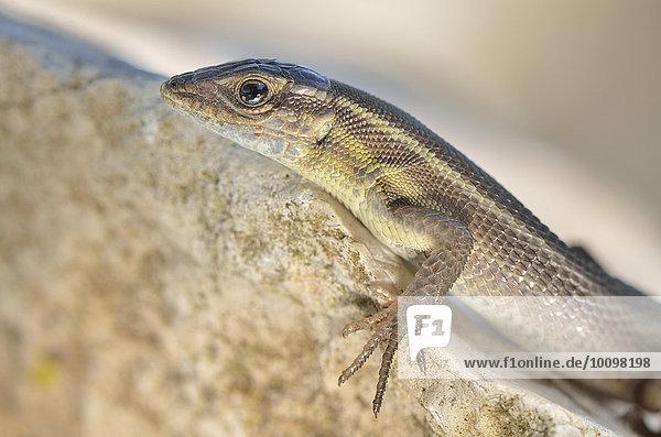 Adultes Europäisches Schlangenauge (Ophisops elegans macrodactylus) sonnt sich auf Fels  Porträt  Lykien  Südwest-Türkei
