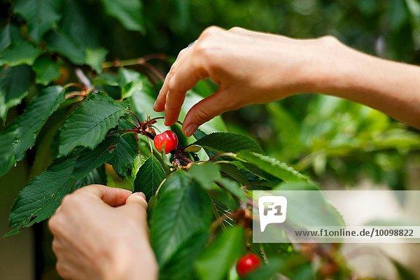 Beschnittene Ansicht der Hände,  die Kirsche vom Kirschbaum pflücken