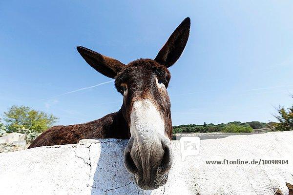 Portrait eines neugierigen Esels  Menorca  Spanien