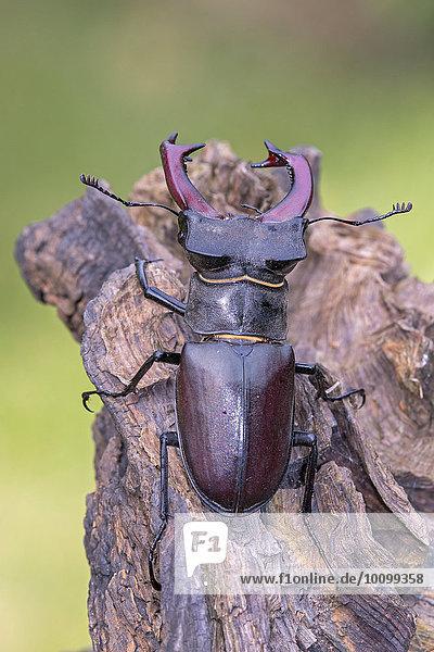 Hirschkäfer (Lucanus cervus)  Männchen  Biosphärenreservat Mittelelbe  Sachsen-Anhalt  Deutschland  Europa