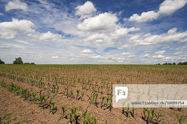 Junge Maispflanzen (Zea mays) auf einem Feld unter Wolkenhimmel  Bayern  Deutschland  Europa