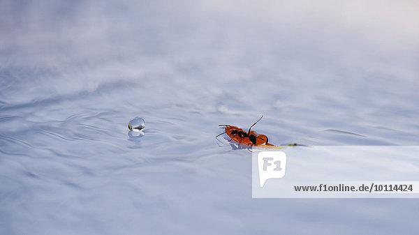 Bodenhöhe Wasser Pflanzenblatt Pflanzenblätter Blatt fließen trinken Ameise
