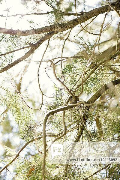 Baum Ast Zeder