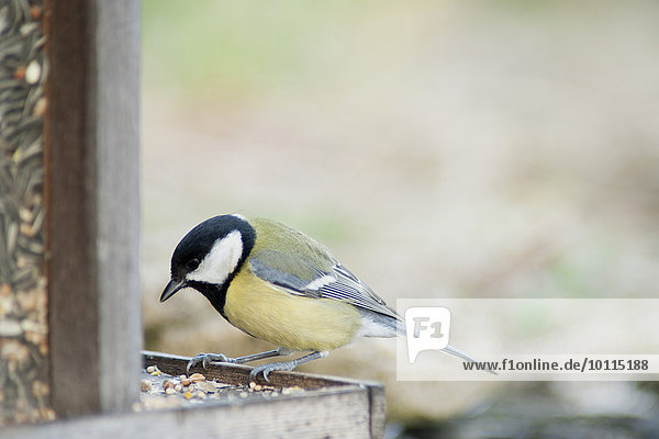Great tit (Parus major) perched on bird feeder