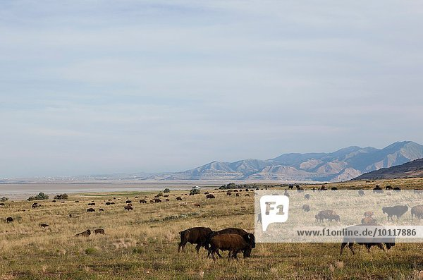 Herd of American buffalo grazing in Antelope Island State Park  Syracuse  UT  USA