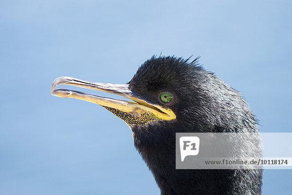 Krähenscharbe (Phalacrocorax aristotelis)  Porträt  Inner Farne  Farne-Inseln  Northumberland  England  Großbritannien  Europa