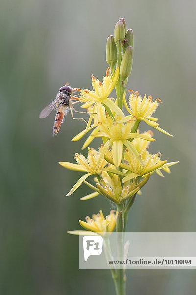 Beinbrech  Moorlilie (Narthecium ossifragum) mit Schwebfliege  Emsland  Niedersachsen  Deutschland  Europa