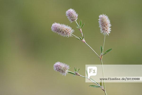 Hasenklee (Trifolium arvense)  Emsland  Niedersachsen  Deutschland  Europa