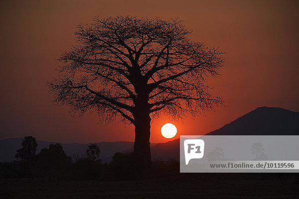 Affenbrotbaum  Silhouette vor der Sonne  roter Himmel  hinten Bergkette  Lower Zambesi Nationalpark  Sambia  Afrika