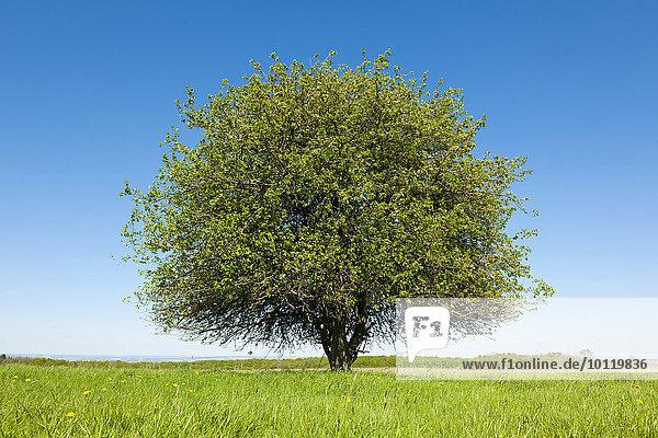 Einzelner Birnbaum (Pyrus communis) auf einer Wiese  Thüringen  Deutschland  Europa