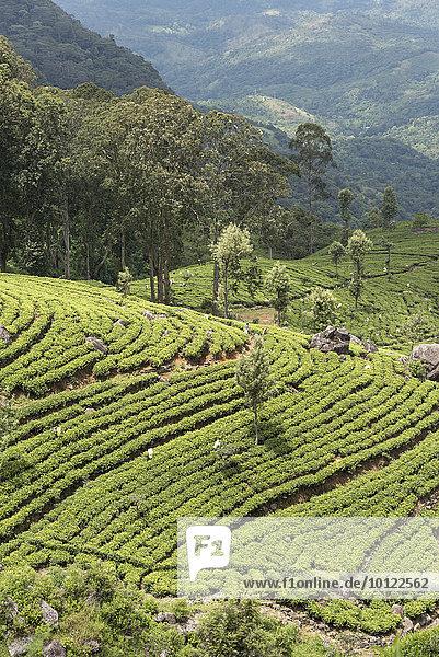 Dambatenne Teeplantage  Landschaft  Sri Lanka  Asien