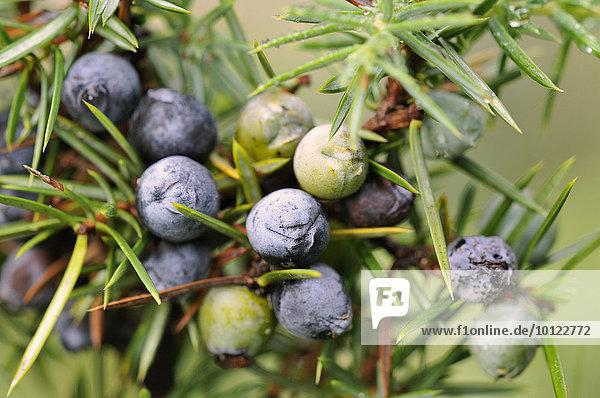Gemeiner Wacholder (Juniperus communis) mit reifen und unreifen beerenförmigen Zapfen  Nordrhein-Westfalen  Deutschland  Europa