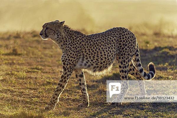 Gepard (Acinonyx jubatus) im Morgenlicht  Masai Mara  Narok County  Kenia  Afrika