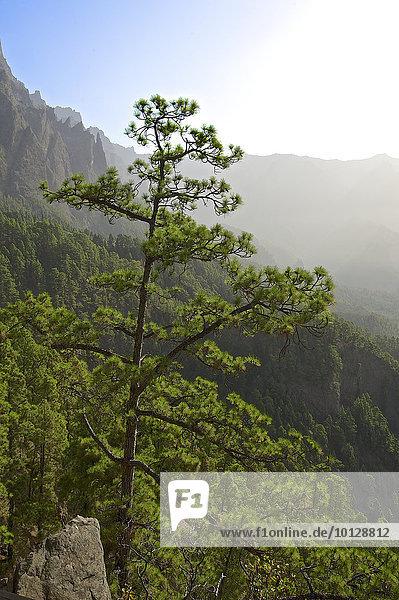 Waldlandschaft im Parque Nacional de la Caldera de Taburiente  La Palma  Kanarische Inseln  Spanien  Europa