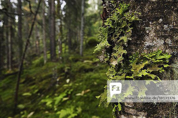 Baum Close-up Baumstamm Stamm Flechte Flechten