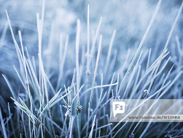 Gras Frost