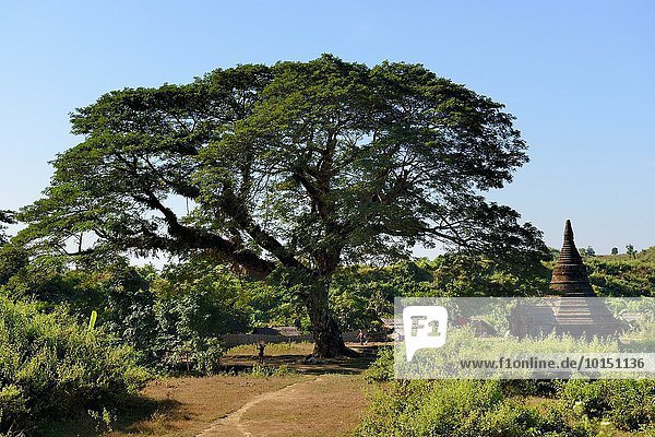 nahe Baum groß großes großer große großen Akazie Myanmar Kloster