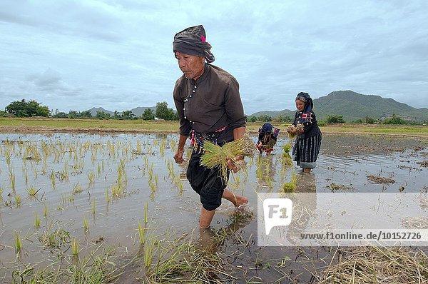 Reis Reiskorn Bauer Damm keimen anpflanzen Thailand