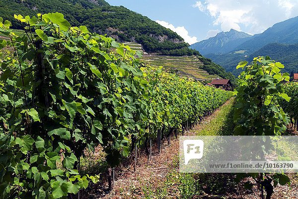 Europe  Switzerland  Canton Vaud   Chablais   Aigle (Eagle in English) known for the castle surrounded by vineyards