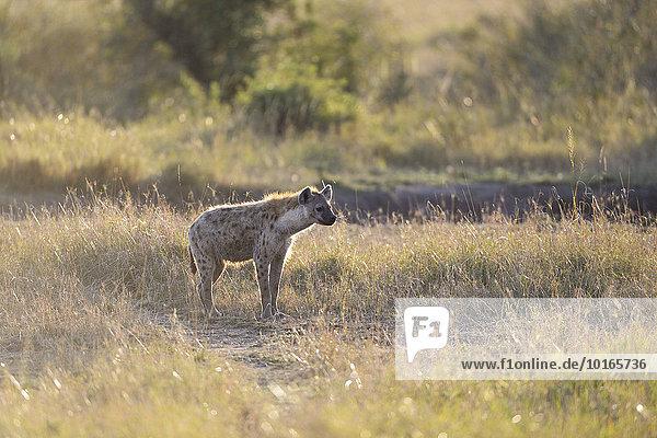 Tüpfelhyäne  Fleckenhyäne  (Crocuta crocuta)  im Morgenlicht  Masai Mara Nationalreservat  Kenia  Afrika