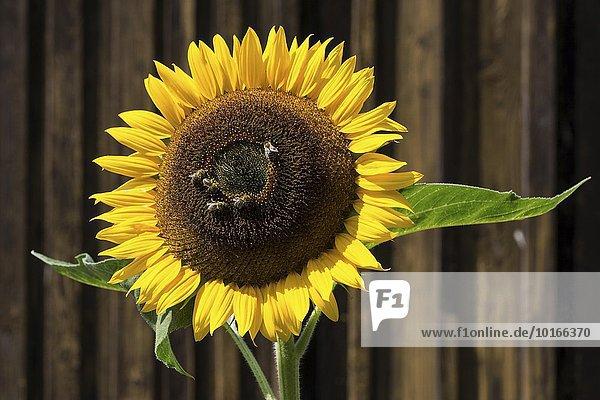 Sonnenblume (Helianthus annuus)  Bienen sammeln Nektar  Bayern  Deutschland  Europa
