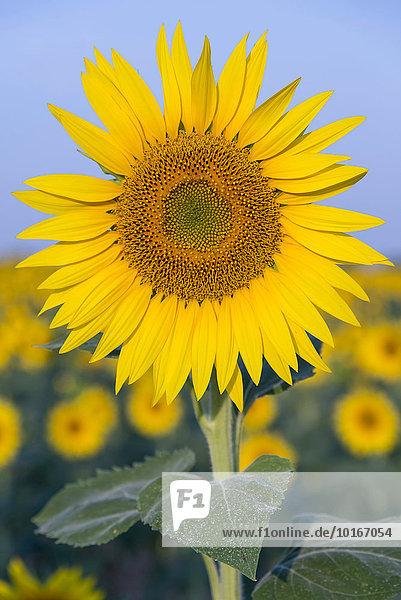 'Sunflower (Helianthus annuus)  Provence-Alpes-Côte d'Azur  France  Europe'