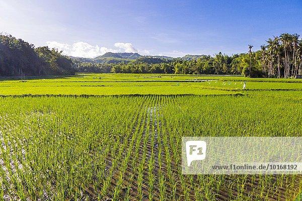 Grüne Reisfelder beim Dorf Maria  Siquijor Island  Central Visayas  Philippinen  Asien