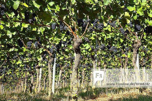 Weinreben mit blauen Trauben  Kaiserstuhl  Baden-Württemberg  Deutschland  Europa
