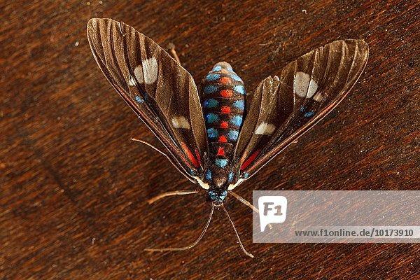 Amerika Insekt Kolumbien