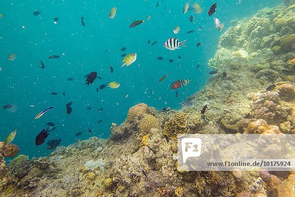 Underwater view of Coral Eden off the coast of Coron Island  Palawan  Philippines  Asia