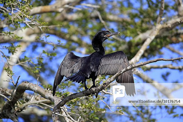 Olivenscharbe (Phalacrocorax brasilianus)  adult  spreizt und trocknet Flügel  auf Baum  Pantanal  Mato Grosso  Brasilien  Südamerika