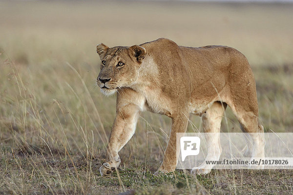 Lioness (Panthera leo) submissively approaching the male pack-leader  Maasai Mara National Reserve  Narok County  Kenya  Africa