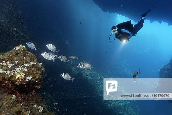 Taucher in Höhle mit Lampe betrachtet Schwarm Zweibindenbrassen (Diplodus vulgaris)  Insel Korfu  Ionische Inseln  Mittelmeer  Griechenland  Europa