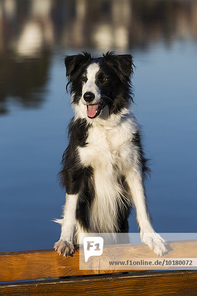 Border Collie standing on bench in front of a lake